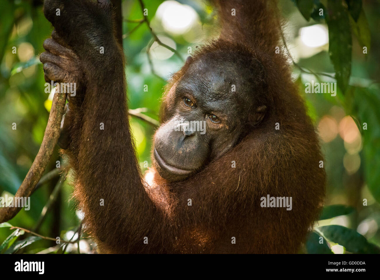 An adult female orangutan swings among the trees at a wildlife sanctuary in Malaysian Borneo. - Stock Image