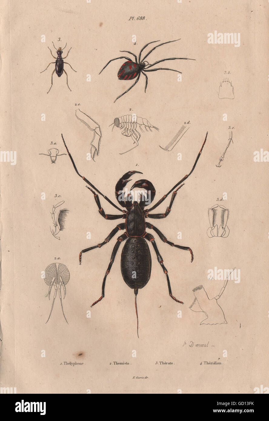 SPIDERS: Thelyphonida (Vinegaroon). Theridion (Black Widow Spider).Theratus 1833 - Stock Image