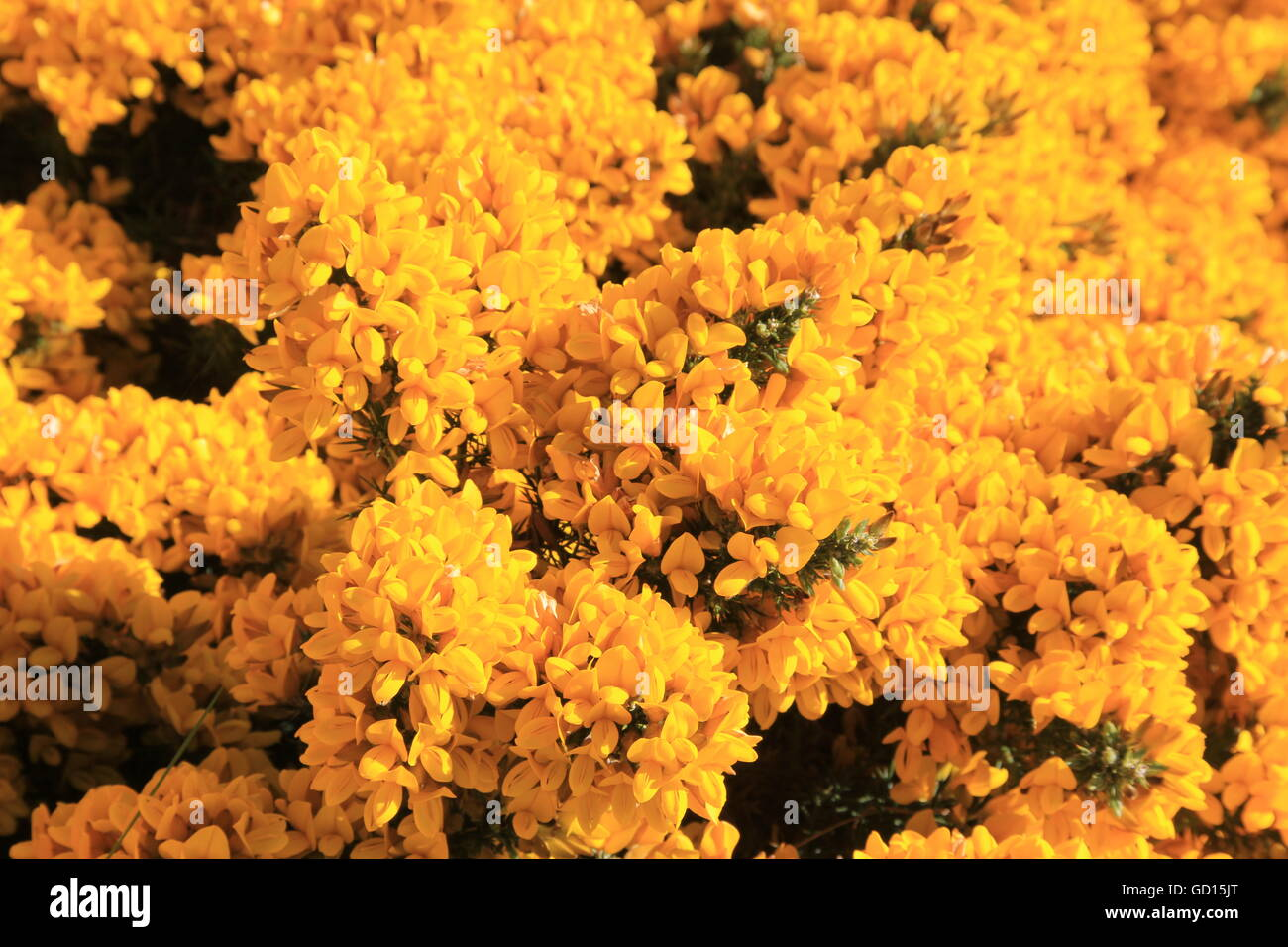 Yellow gorse, Stanley, Falkland Islands - Stock Image