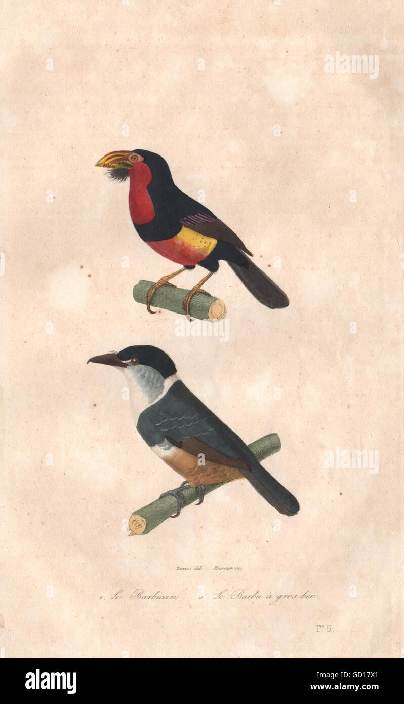 BIRDS: Barbican (Black billed Barbet); Barbu à Gros Bec. BUFFON, print 1837 Stock Photo
