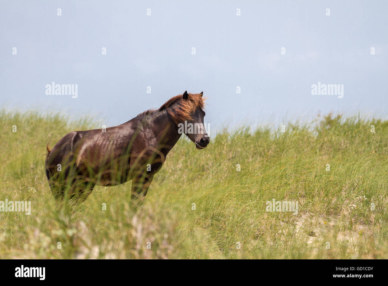 A wild stallion watches over his herem from a nearby dune. - Stock Image