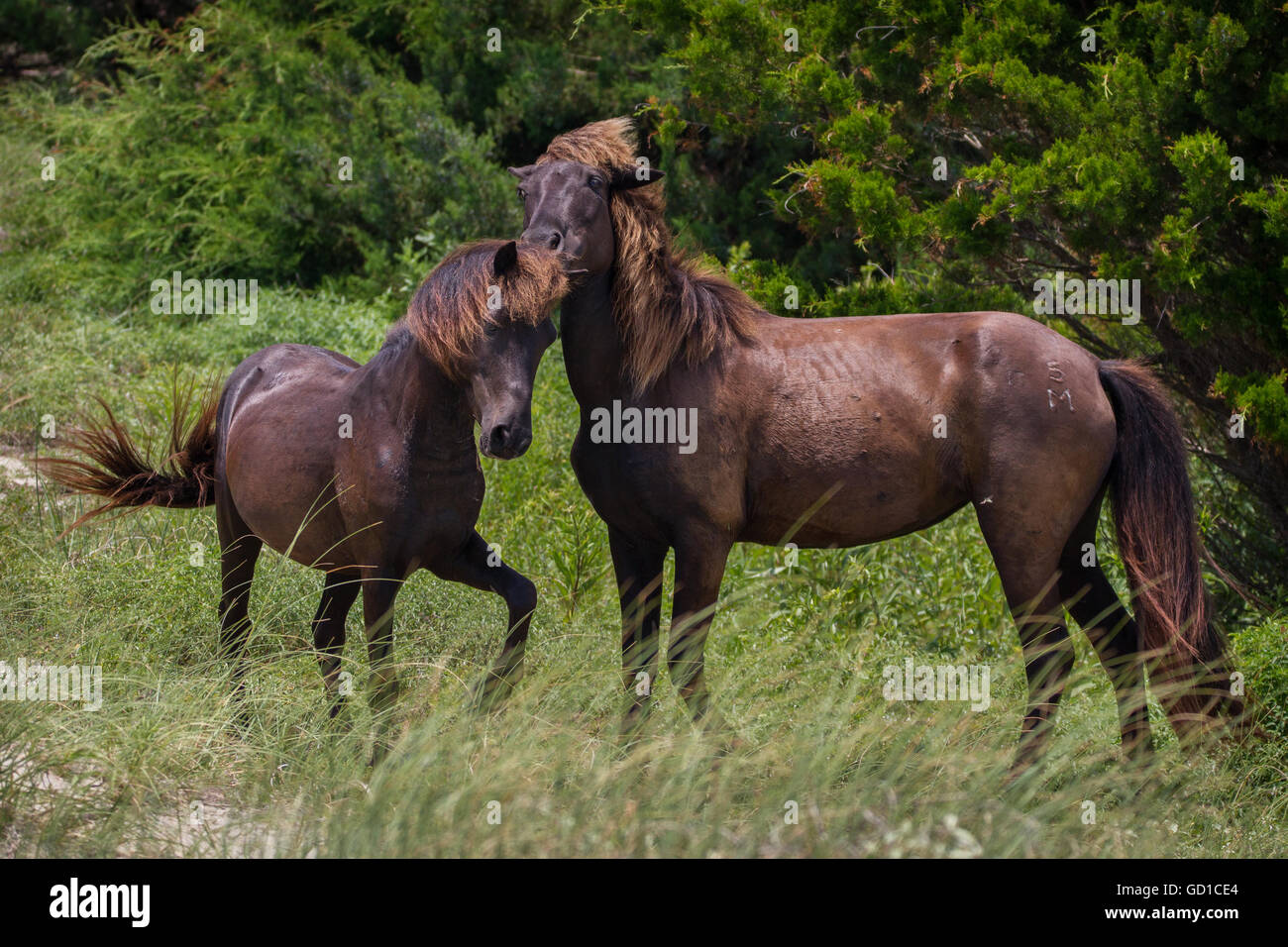 A stallion being playful with one of his mares. - Stock Image