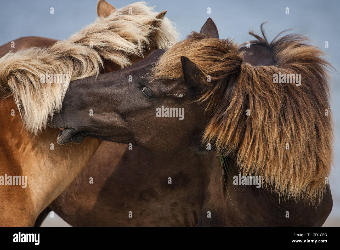 Two stallions battle over territory. - Stock Image