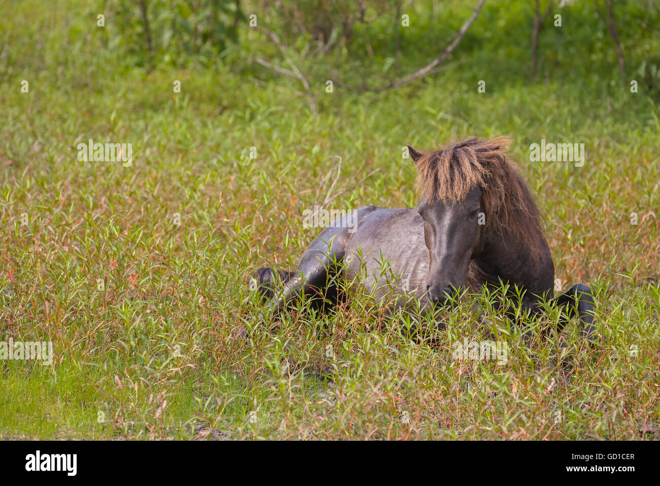 A wild stallion resting in the soft grass. - Stock Image