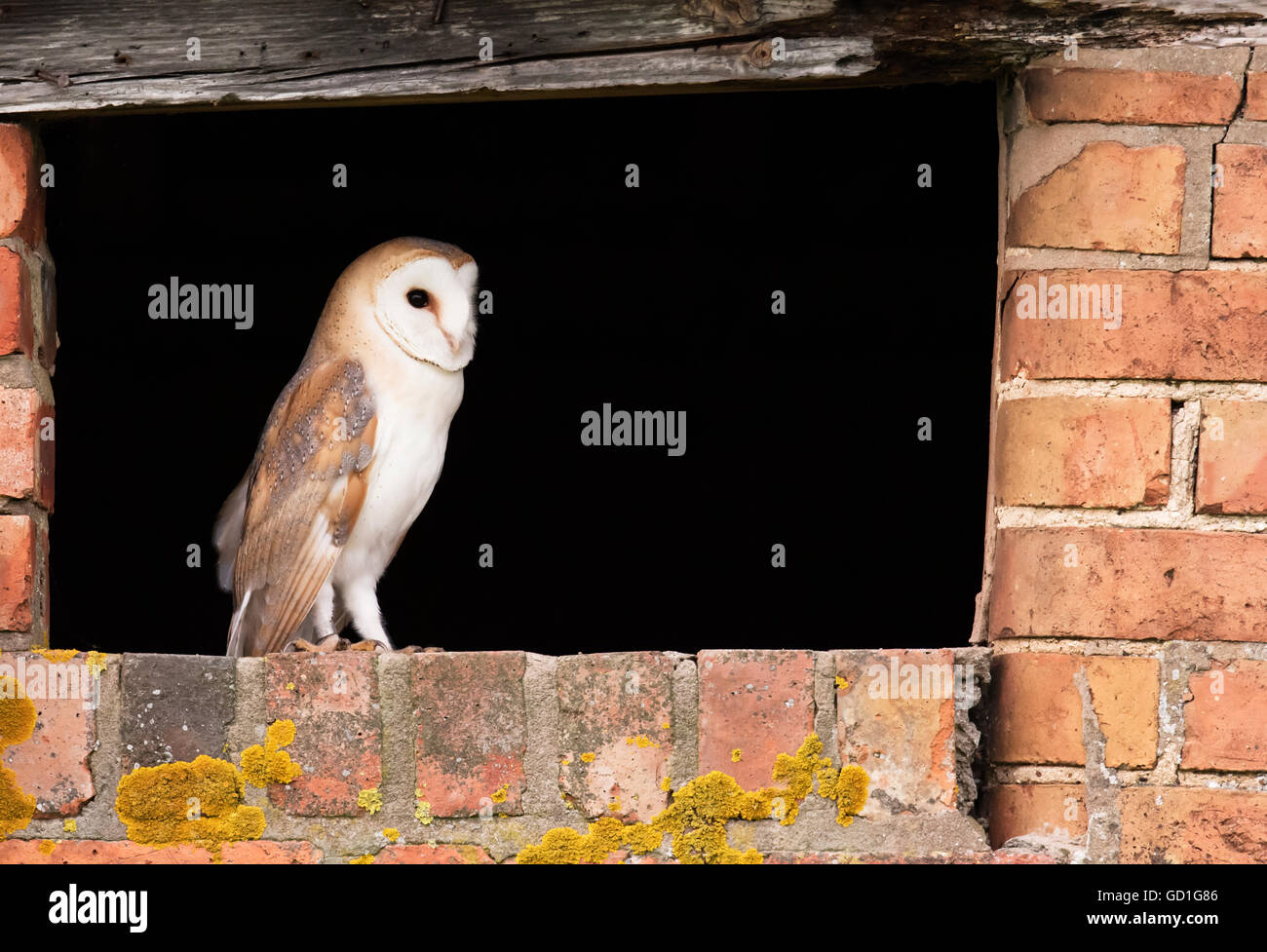 A wild recently fledged barn owl at entrance to nest site, Warwickshire Stock Photo