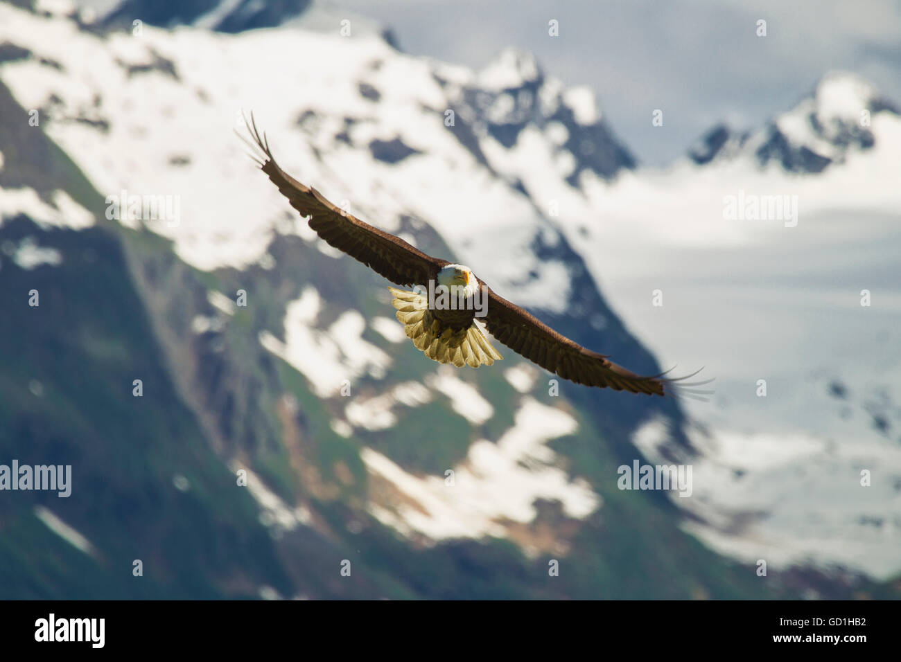 A bald eagle (Haliaeetus leucocephalus) soars in front of the Chugach Mountains near Valdez; Alaska, United States Stock Photo