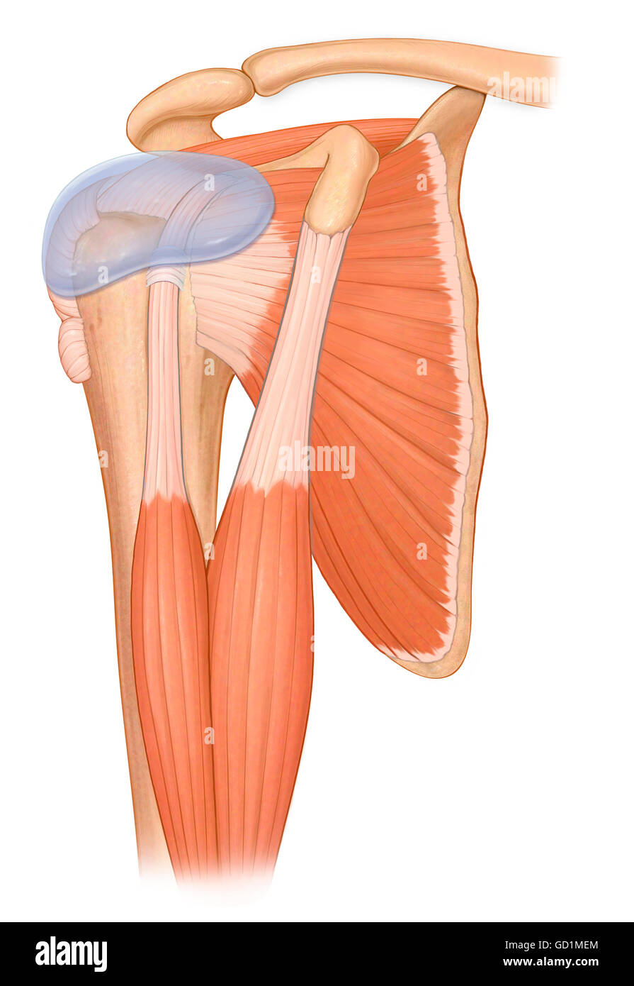 Three quarter view normal shoulder joint with biceps muscles and ...