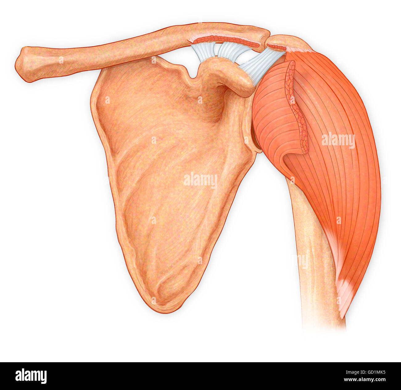 Normal anterior view of the shoulder joint, hilighting reflected deltoid, showing the coracoacromial, trapezoid Stock Photo