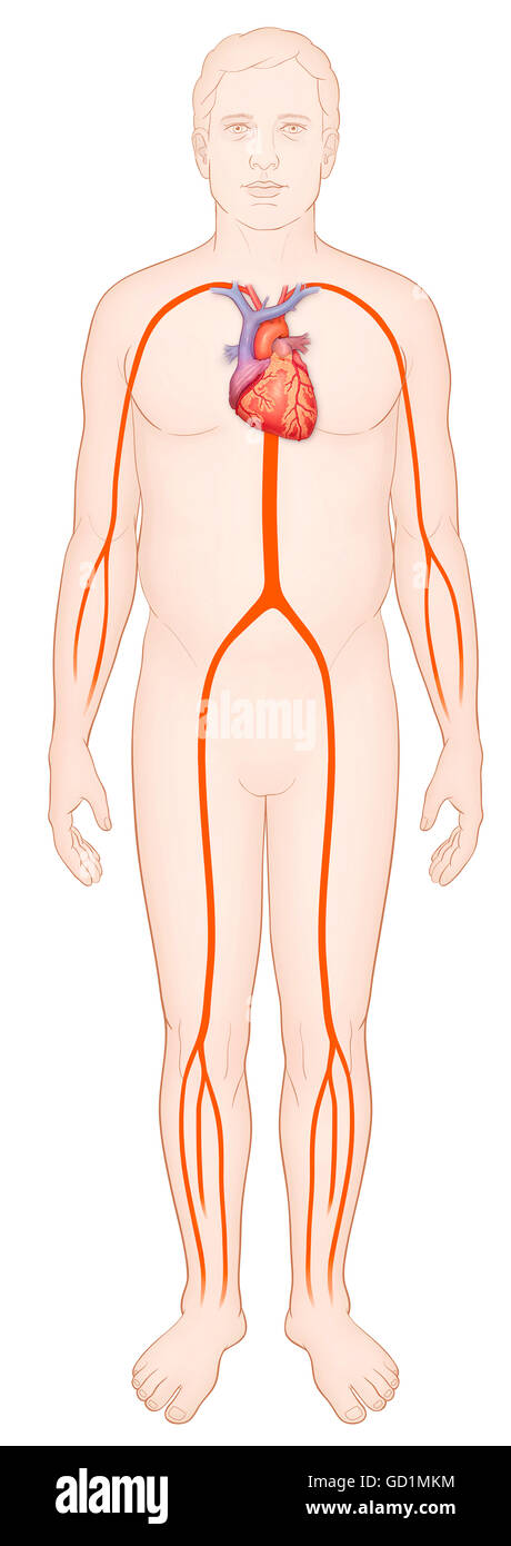 Diagram of a man with a normal arterial system and heart - Stock Image