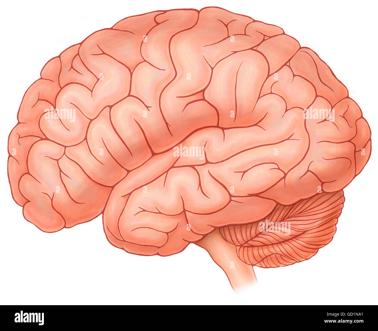 Lateral view of a normal brain Stock Photo: 111291433 - Alamy
