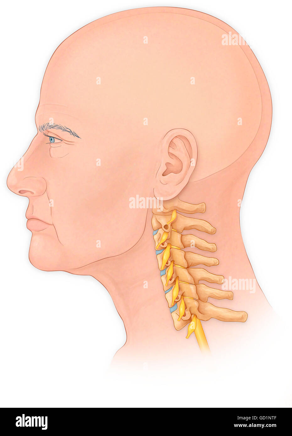 Normal lateral view of a mans head and neck with a skull, cervical vertebrae and spinal roots - Stock Image