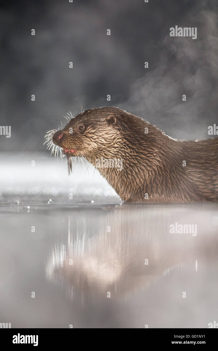 European Otter (Lutra lutra) feeding on a freshly caught fish in an icy marsh at night - Stock Image