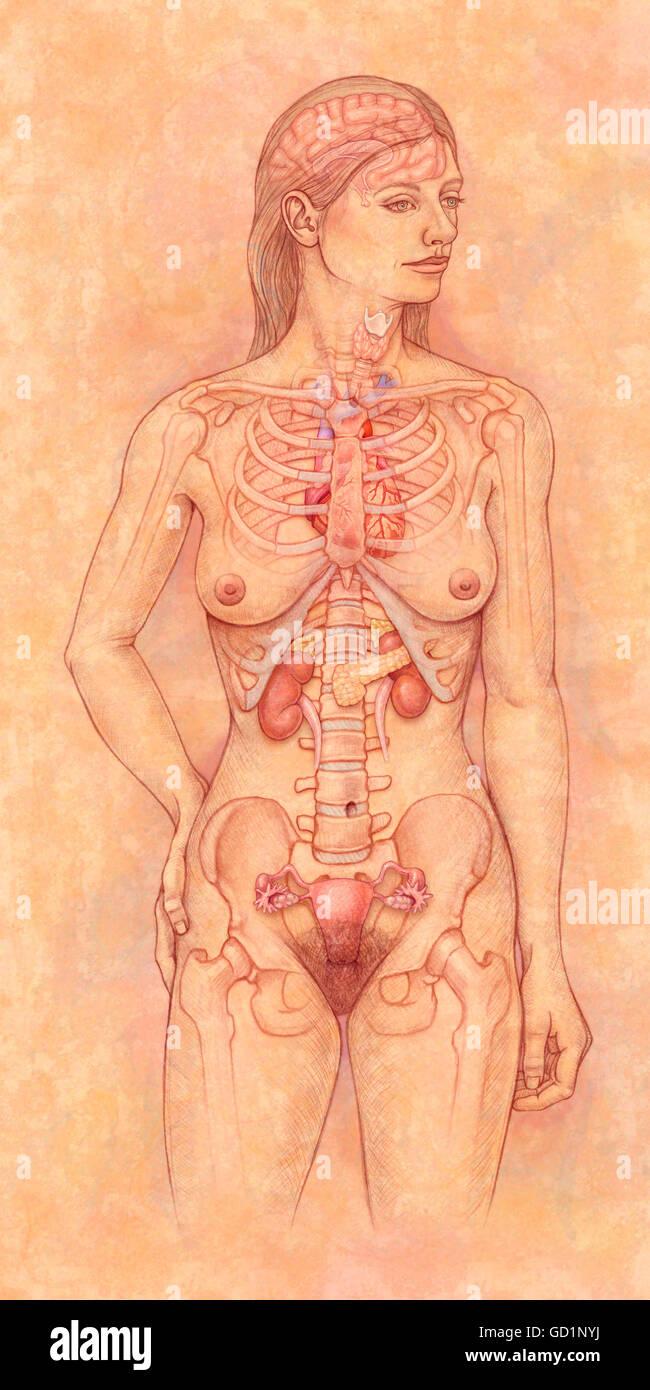 Female Endocrine System Stock Photos Female Endocrine System Stock