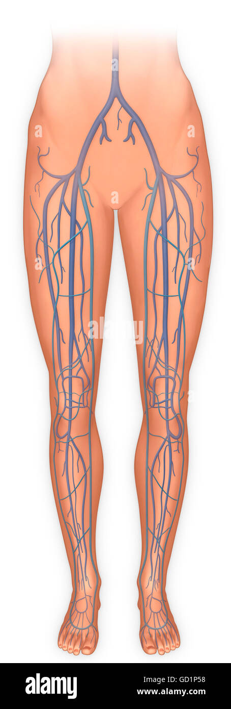Anterior view of legs and the veinous system - Stock Image