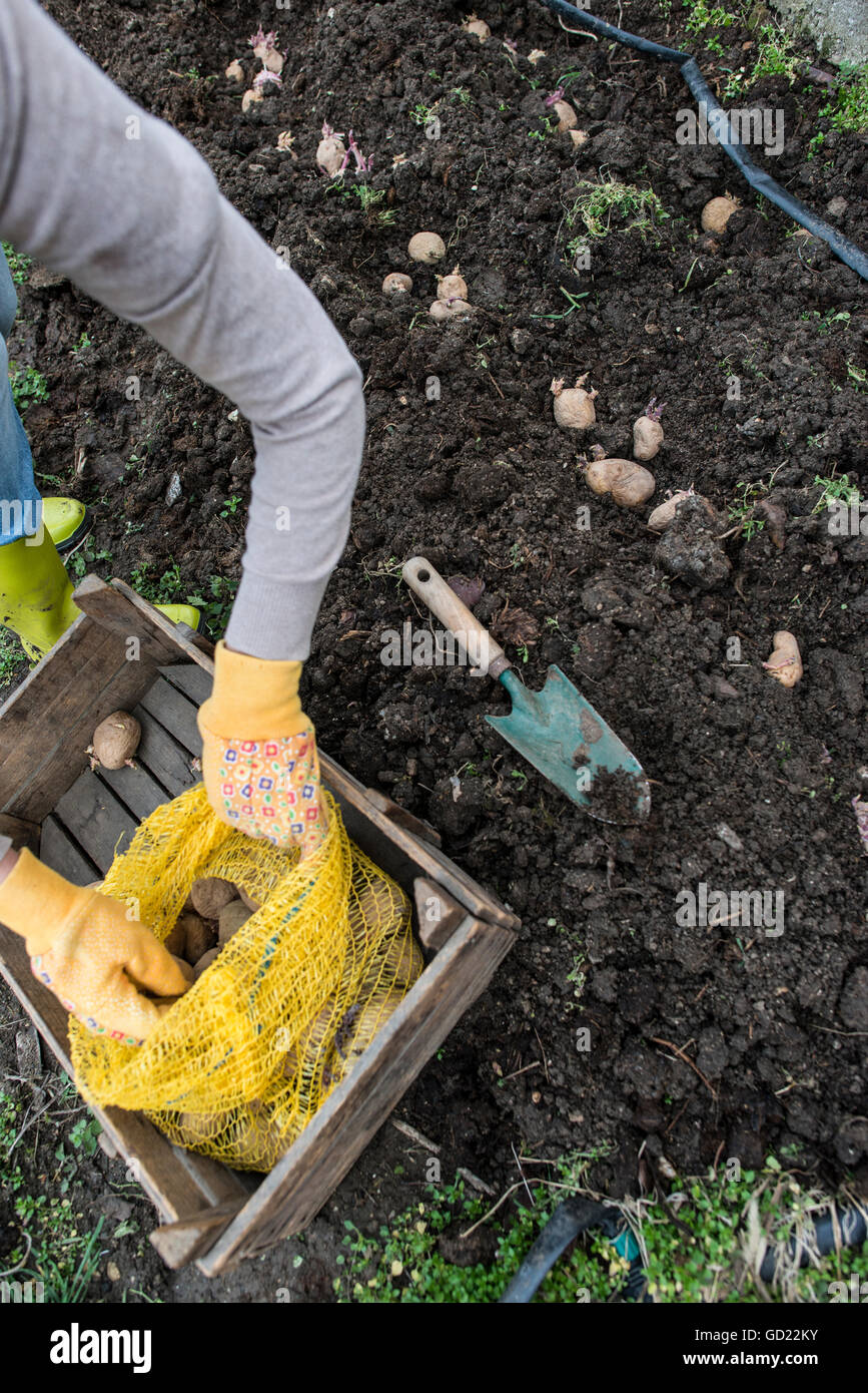 Planting Potatoes In Small Bio Garden Stock Photo 111298767 Alamy