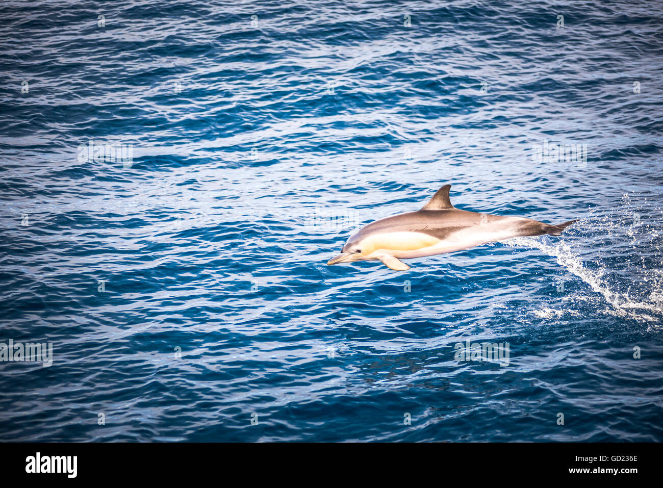 Dolphins seen near Whakatane and Tauranga in the Bay of Plenty, North Island, New Zealand, Pacific - Stock Image