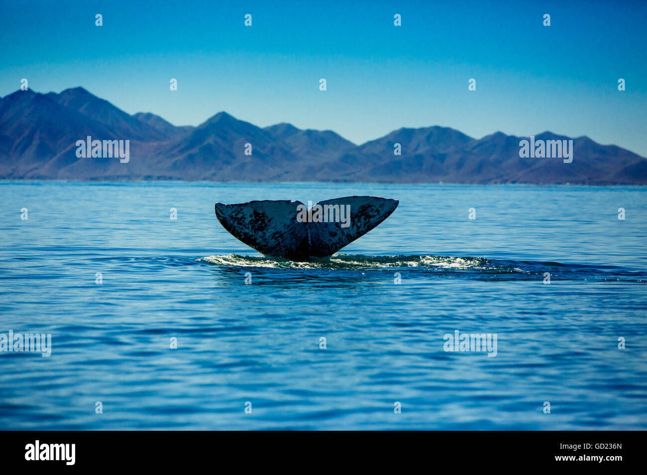 Grey whales, Whale Watching, Magdalena Bay, Mexico, North America - Stock Image