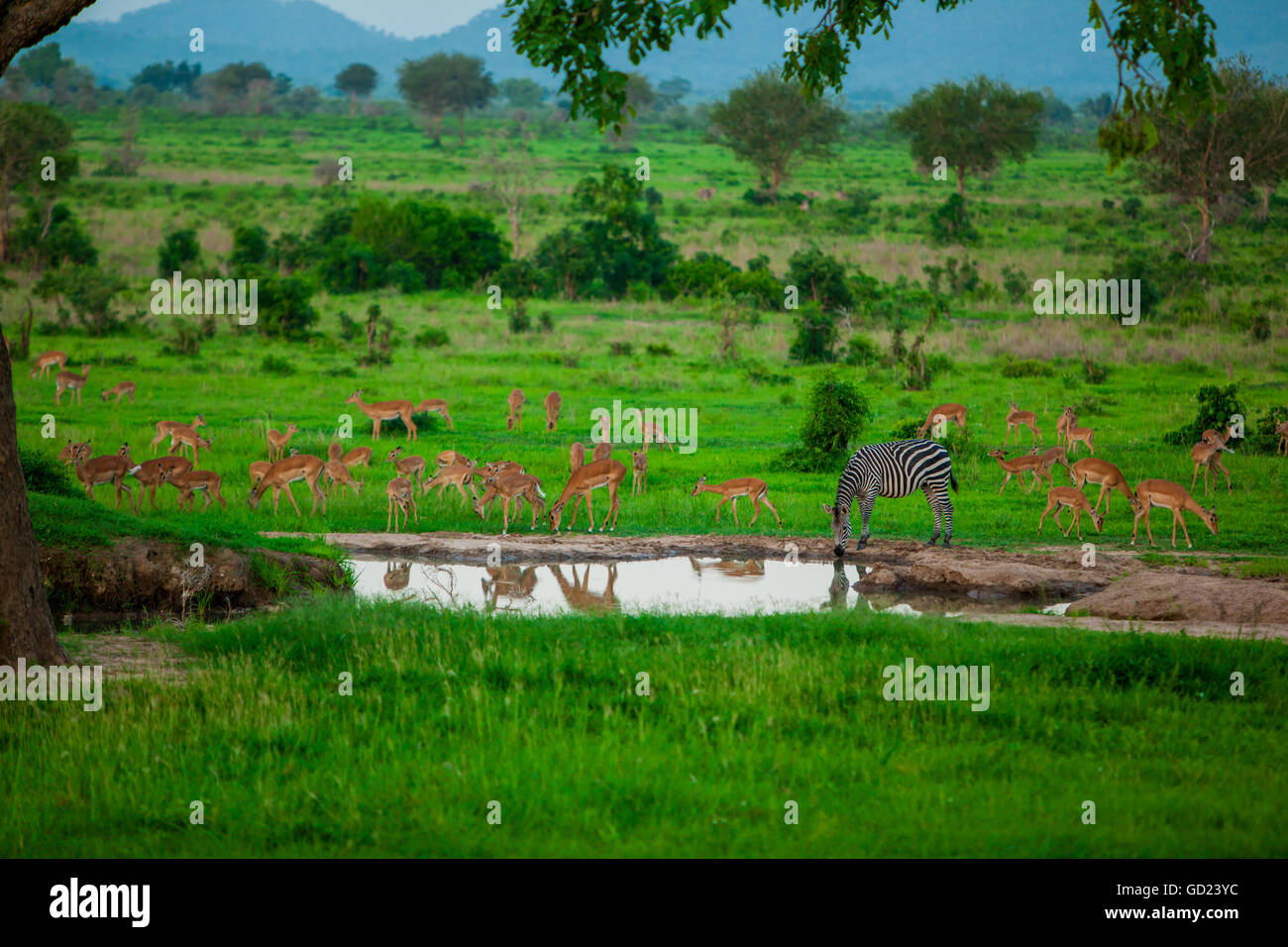 Zebra and wildlife at the watering hole, Mizumi Safari Park, Tanzania, East Africa, Africa - Stock Image