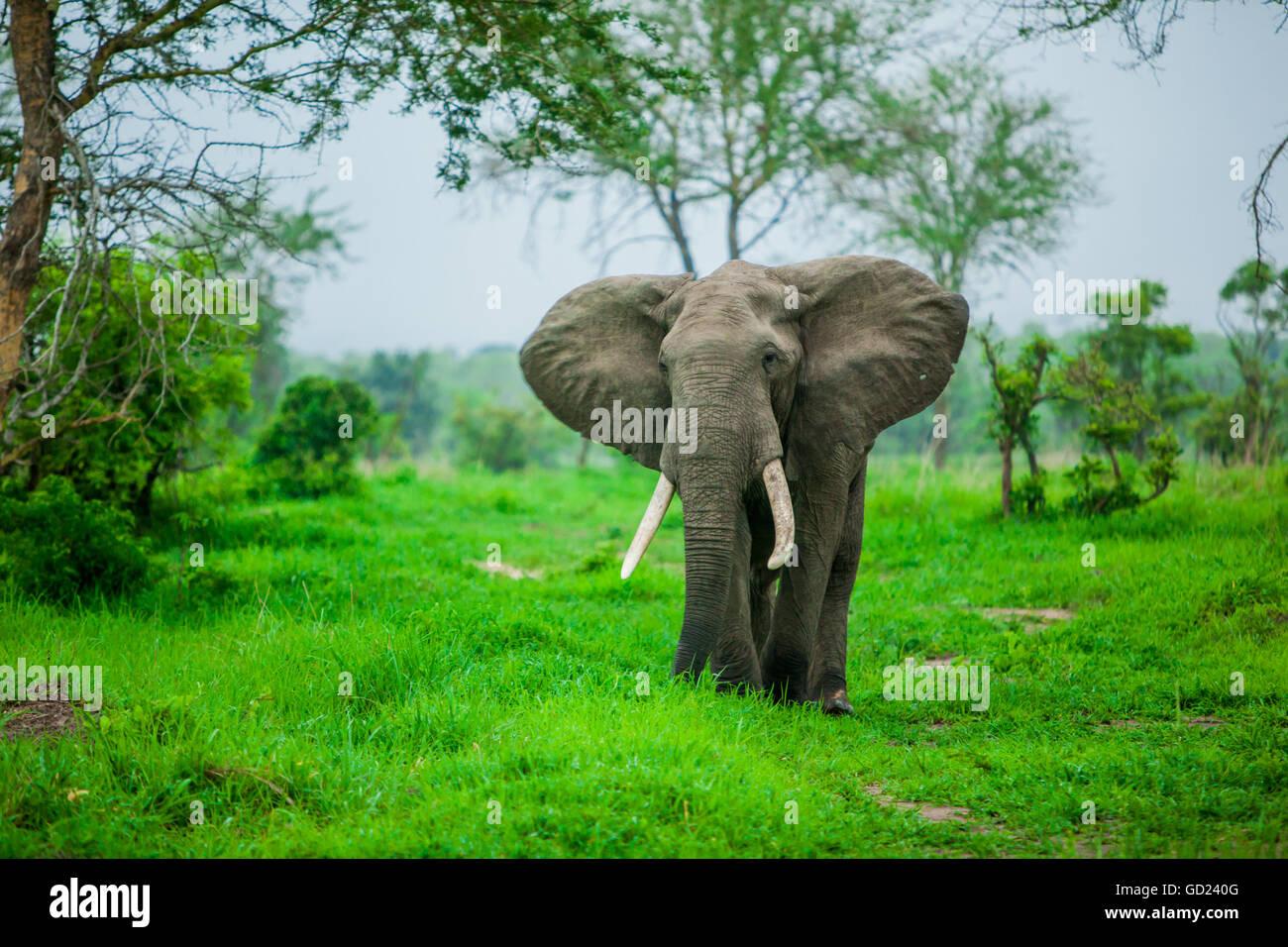 Elephant on safari, Mizumi Safari Park, Tanzania, East Africa, Africa - Stock Image