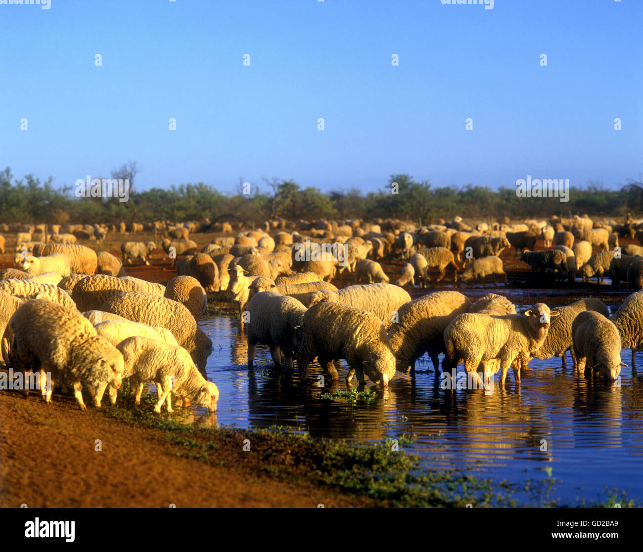 Western Australian Native Plants: Australian Sheep Stock Photos & Australian Sheep Stock