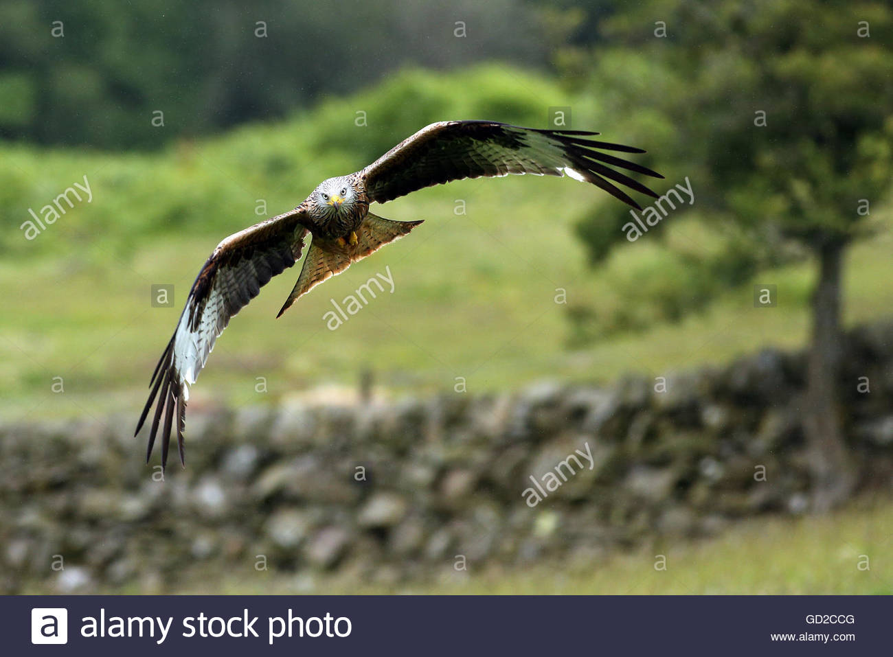 A Red kite - bird of prey in flight over a meadow. - Stock Image