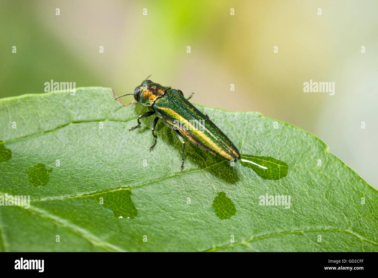 Emerald Ash Borer (Agrilus planipennis), feeding on ash leaves in tree top; Oak Creek, Wisconsin, United States - Stock Image