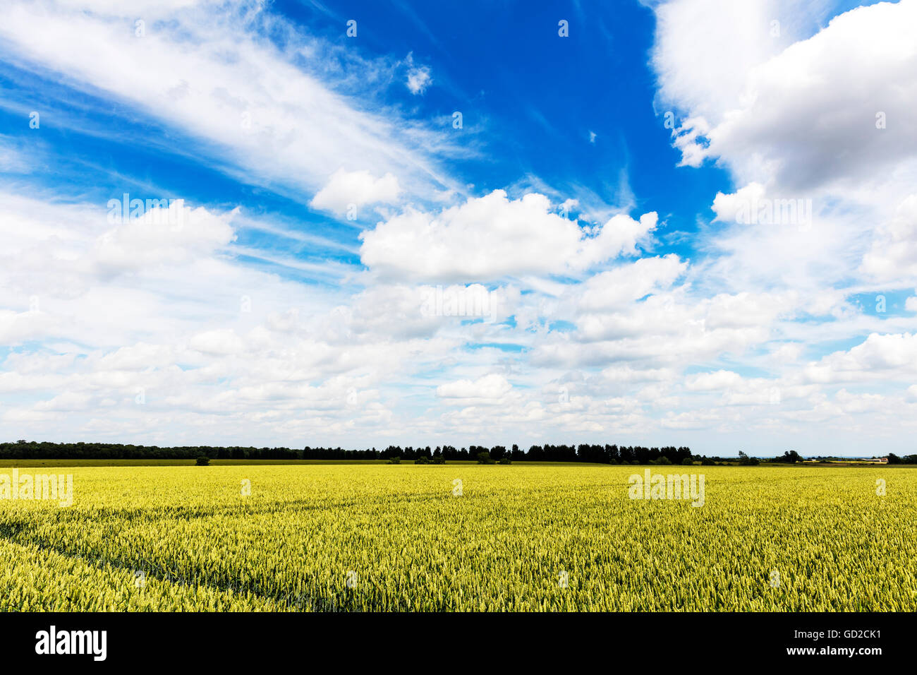 wheat corn field crops crop feed wolds wheatfield UK England GB Farmers field of wheat - Stock Image