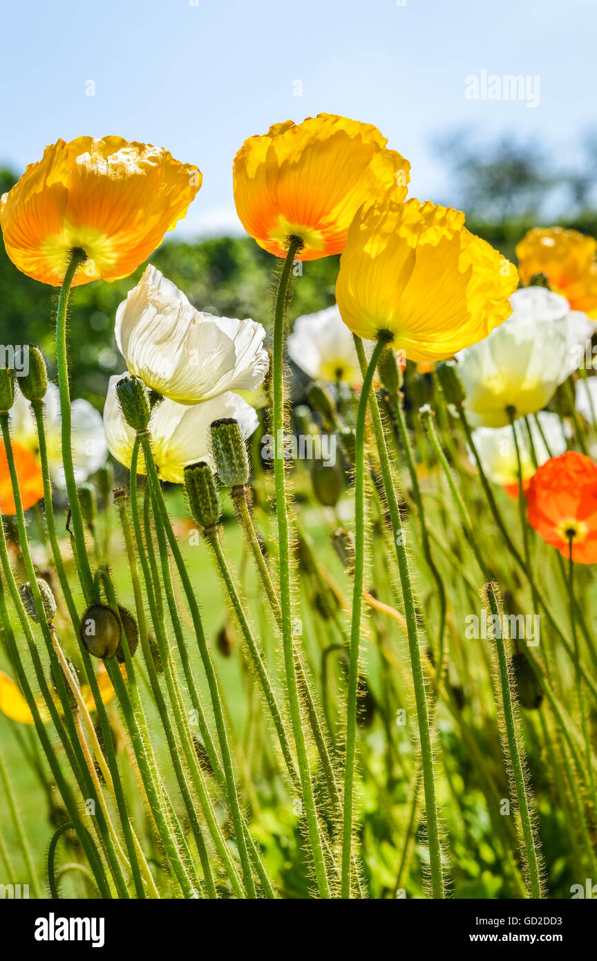 Joyful Mix Of White Yellow And Orange Poppy Flowers Stock Photo