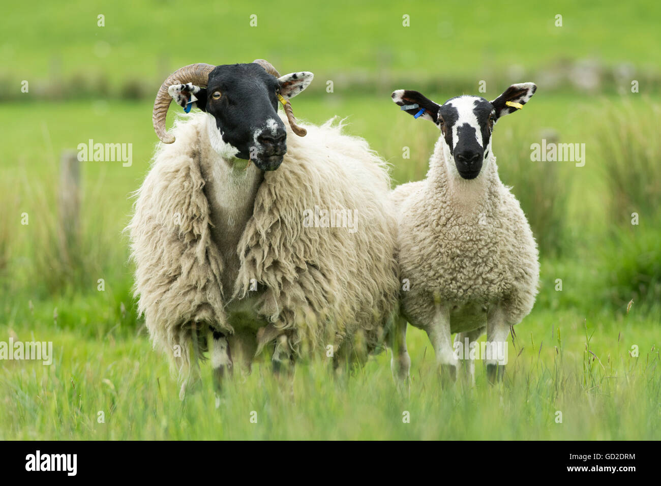 Hexham Blackface ewe with Mule lamb at foot. Northumberland, UK. - Stock Image