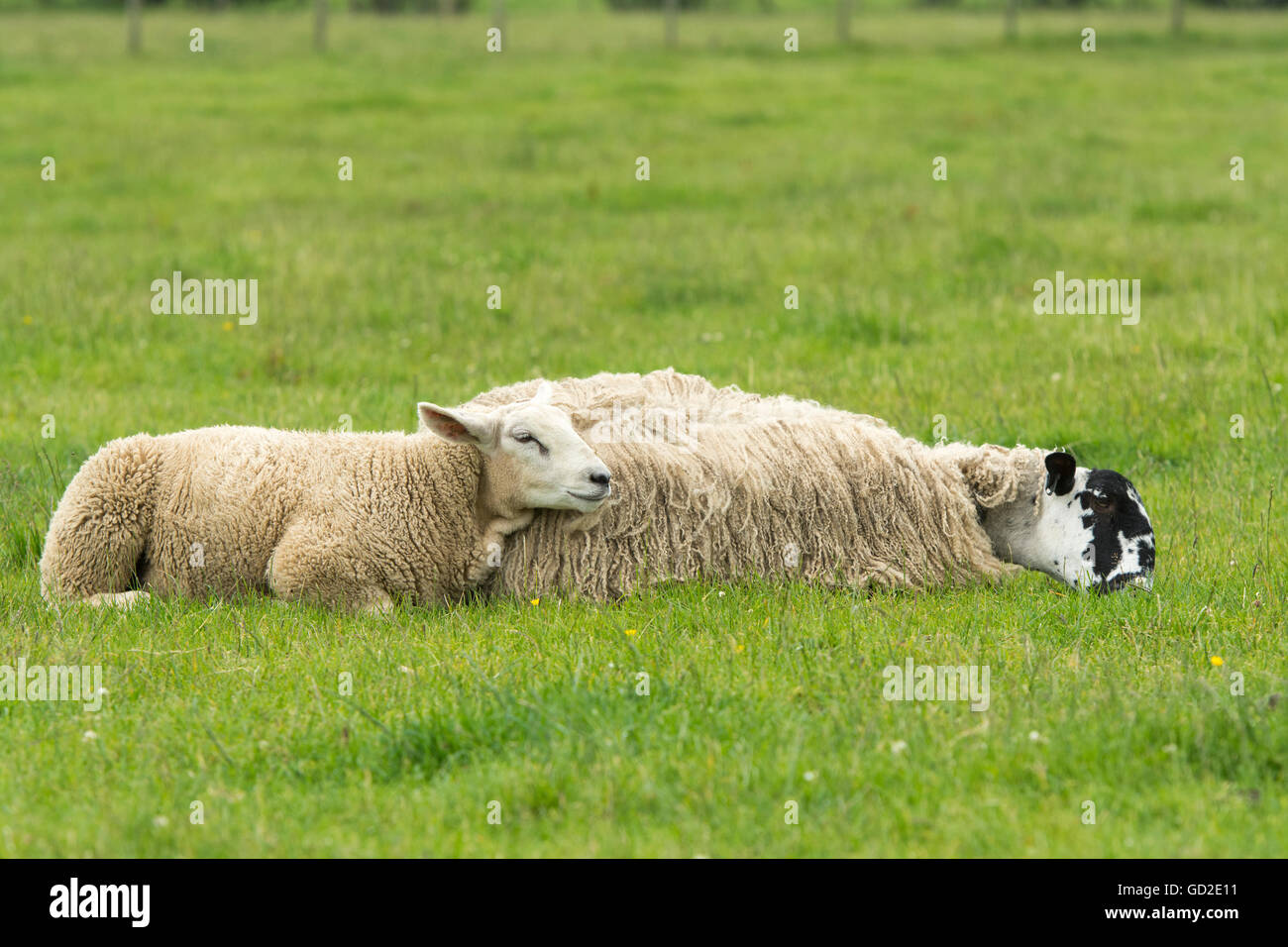 Mule ewe and lamb laid down in pasture to try and stop flies bothering them. Cumbria, UK. - Stock Image