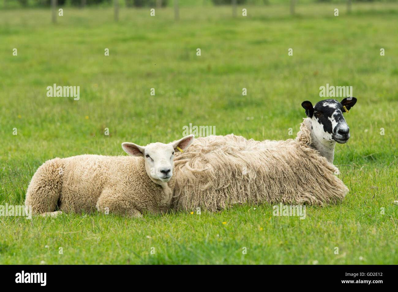 Mule ewe and lamb laid down in pasture to ttry and stop flies bothering them. Cumbria, UK. - Stock Image