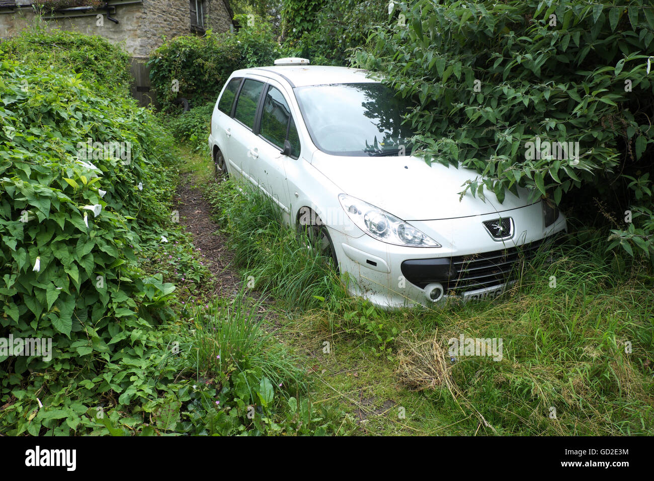 White car parked among overgrown hedge and grass Wales UK - Stock Image