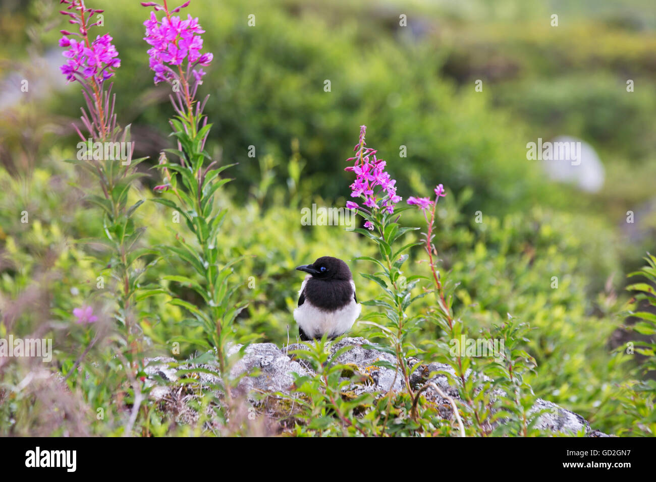 A Black-billed magpie sitting on a boulder by fireweed at Hatcher Pass, Southcentral Alaska, summer - Stock Image