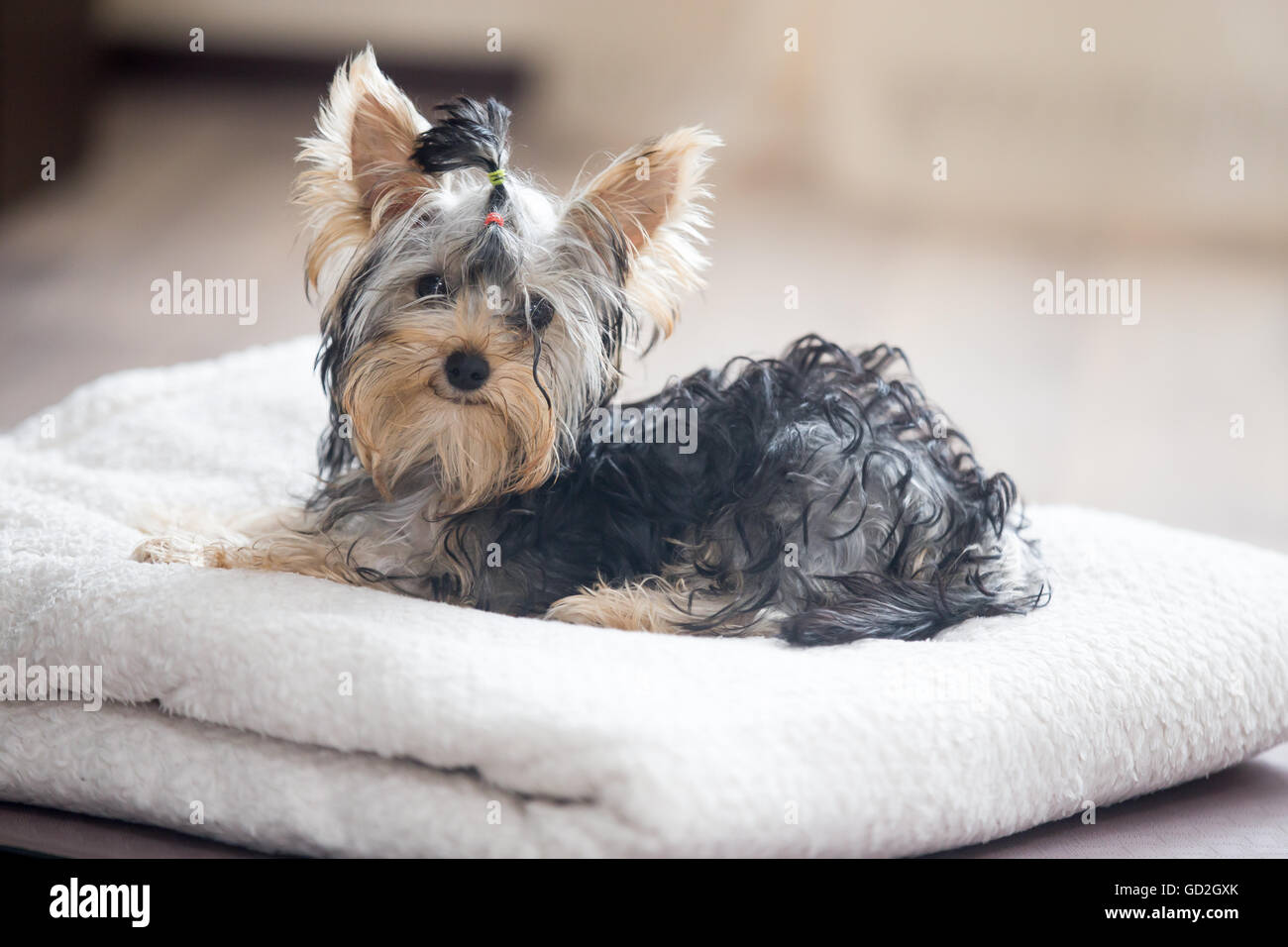 Cute adorable small dog wearing bow-tie lying on white towel in living room and looking at camera - Stock Image