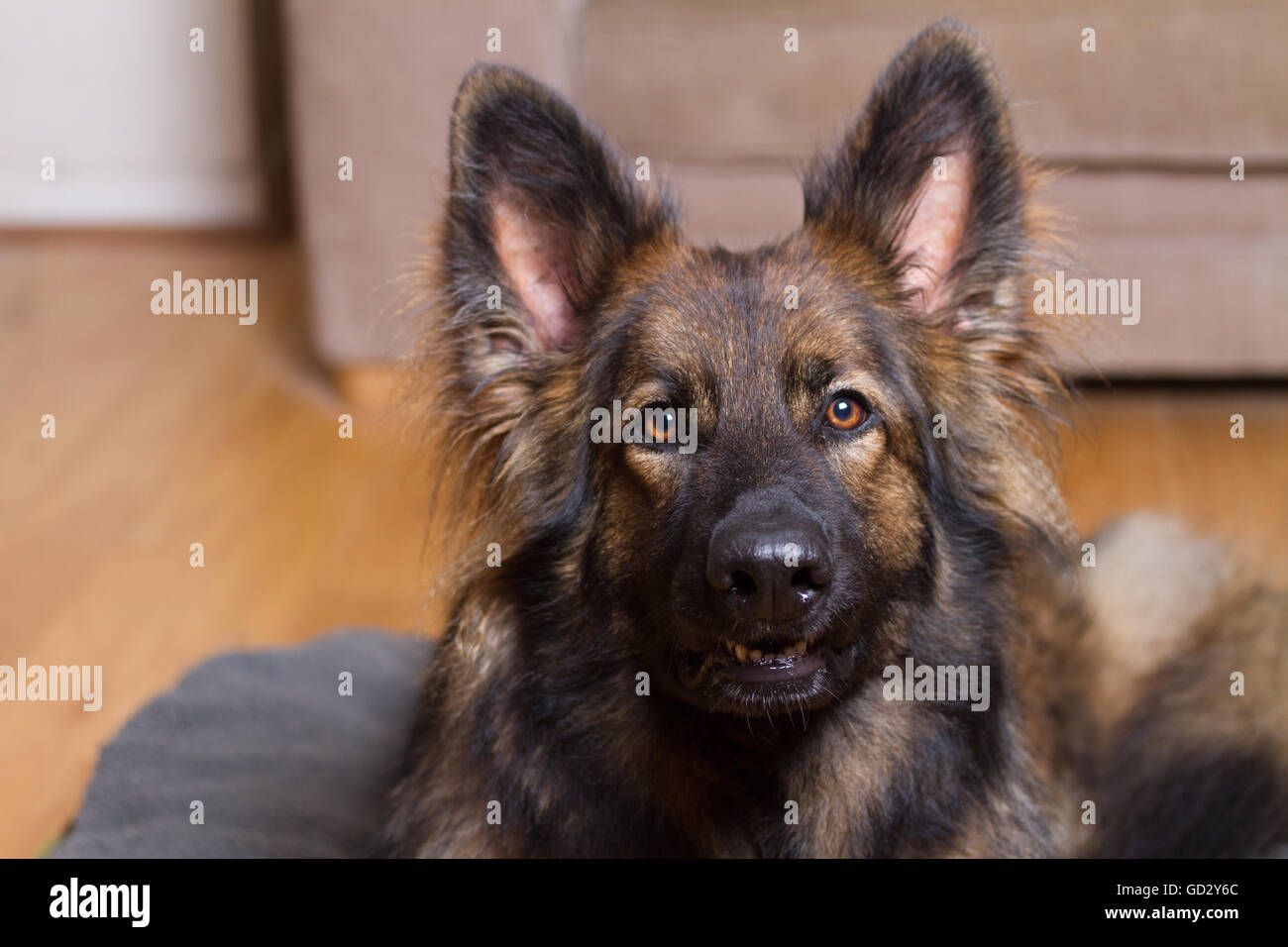 German Shepherd Dog on his bed in a house looking at the camera. - Stock Image