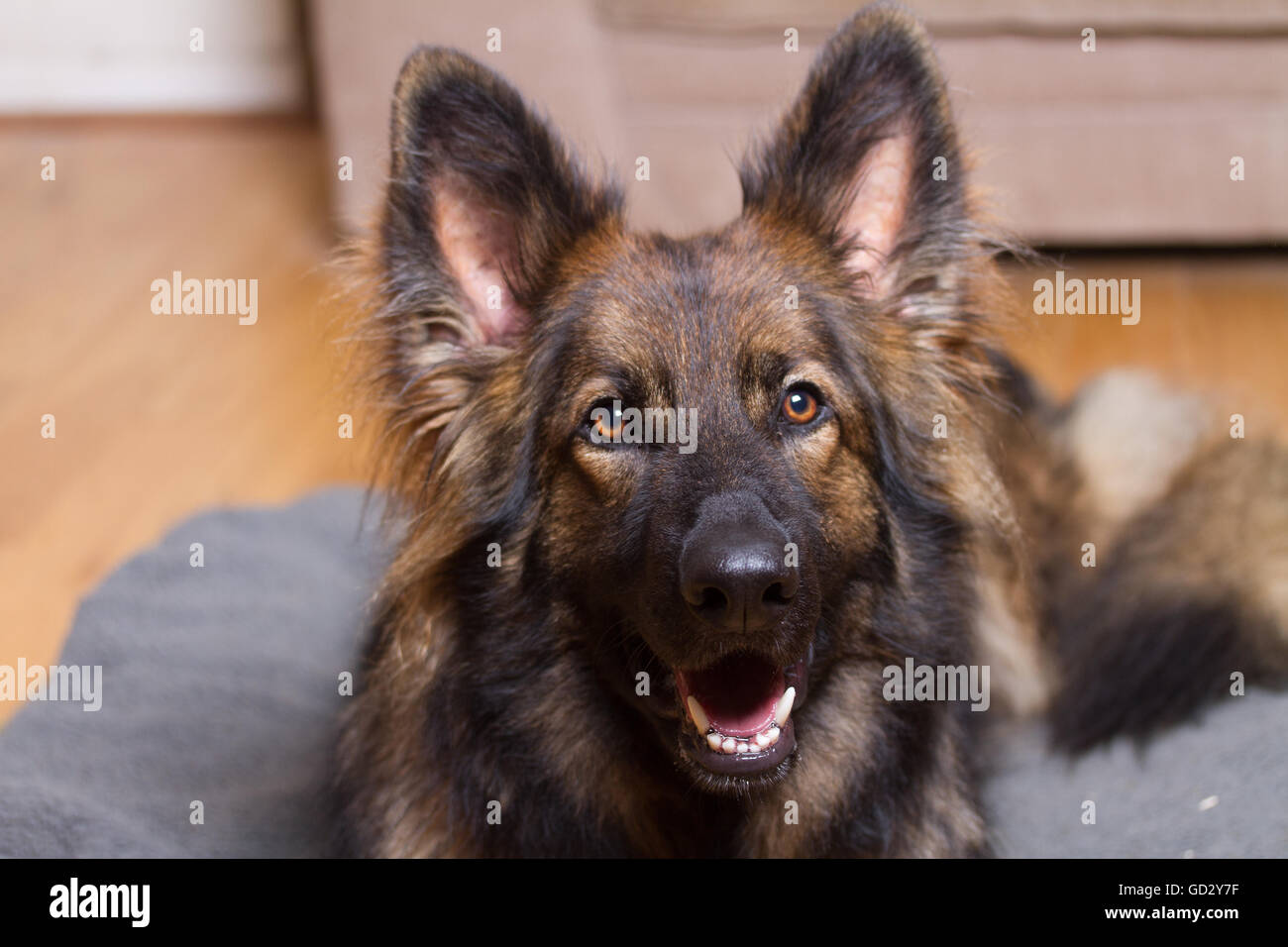 German Shepherd Dog on his bed in a house looking at the camera. He is sable coloured. - Stock Image
