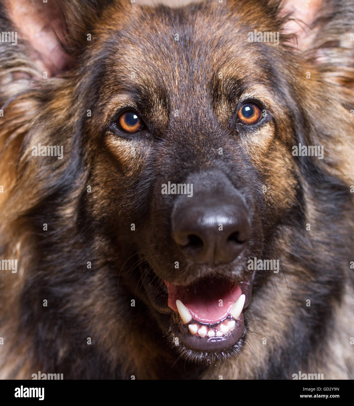 German Shepherd Dog close up shot of his head.  He is long haired and sable. - Stock Image