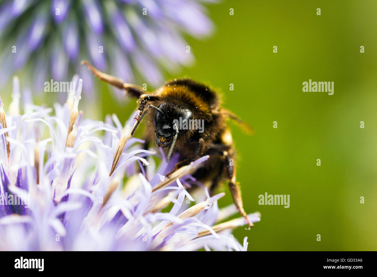 Close-up of bee on a flower - Stock Image