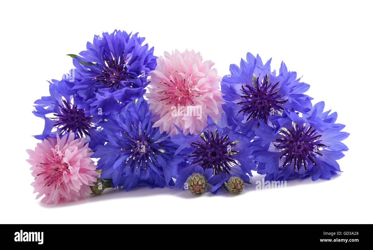 Blue and pink Cornflowers isolated on white Stock Photo