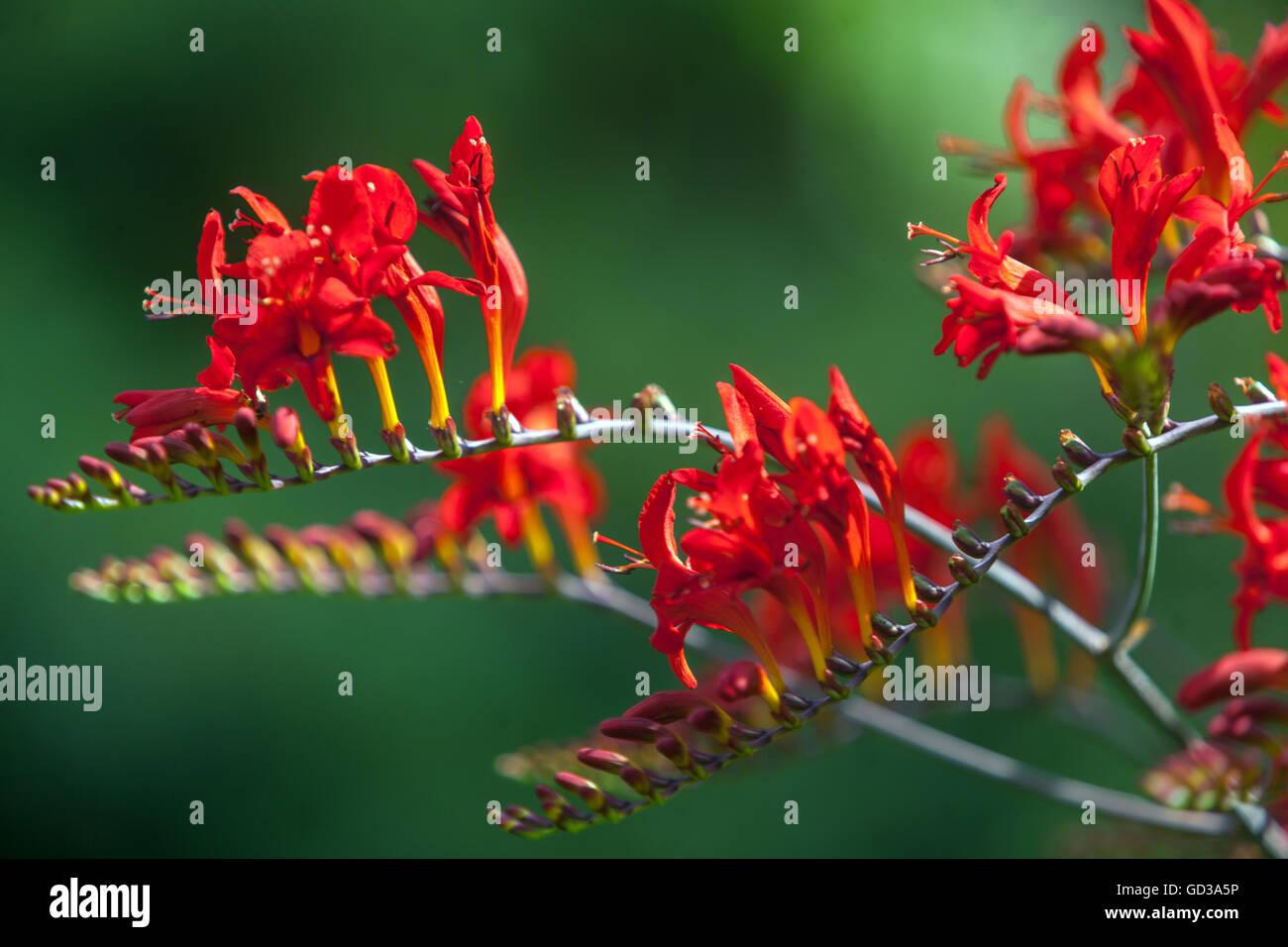 Crocosmia Montbretia, Lucifer Stock Photo