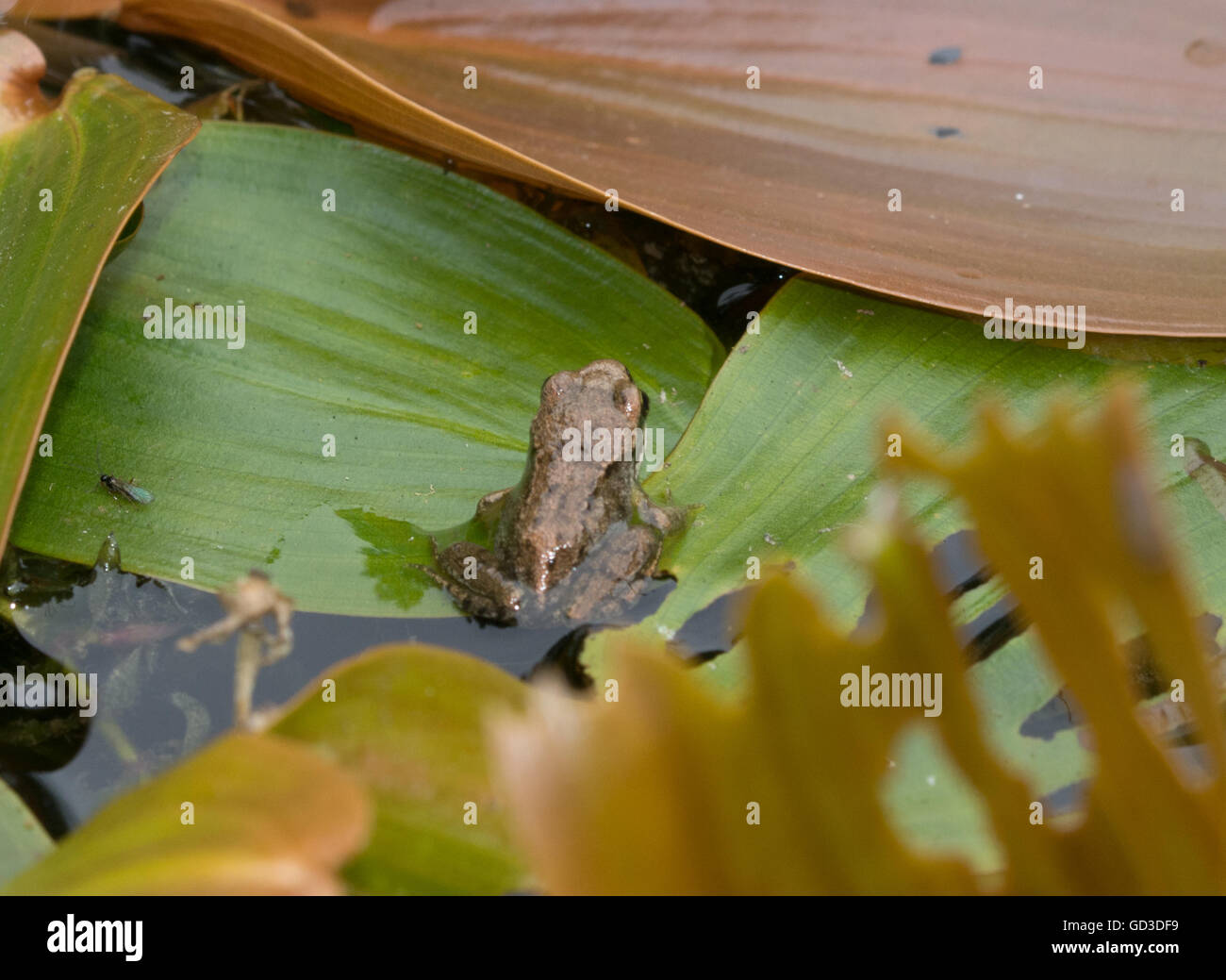 Froglet or young common frog (Rana temporaria) in pond, UK Stock Photo