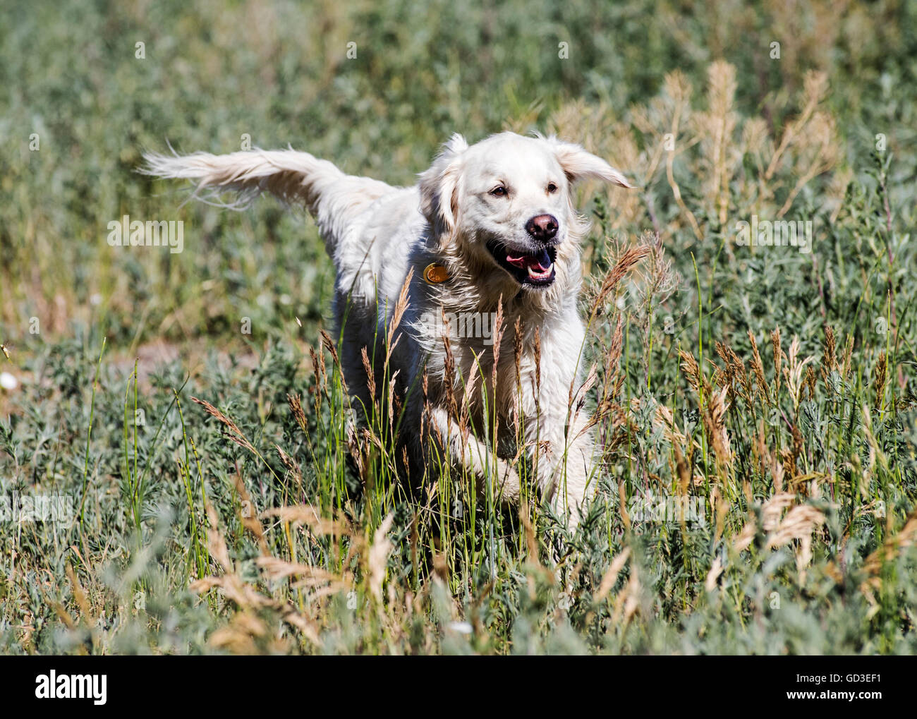 Platinum colored Golden Retriever dog running on a Colorado Ranch; USA - Stock Image