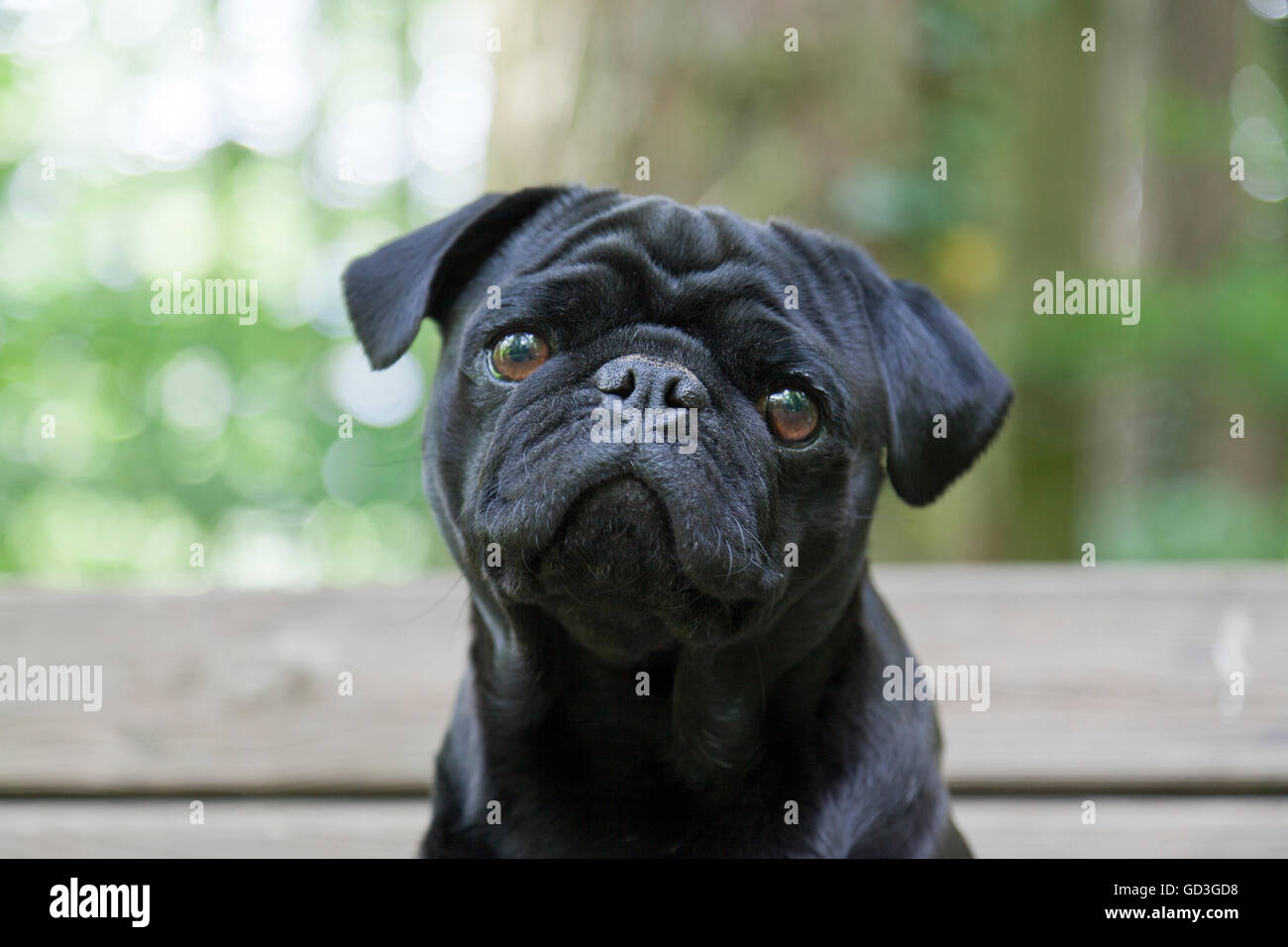 Black Pug, portrait on bench in forest - Stock Image