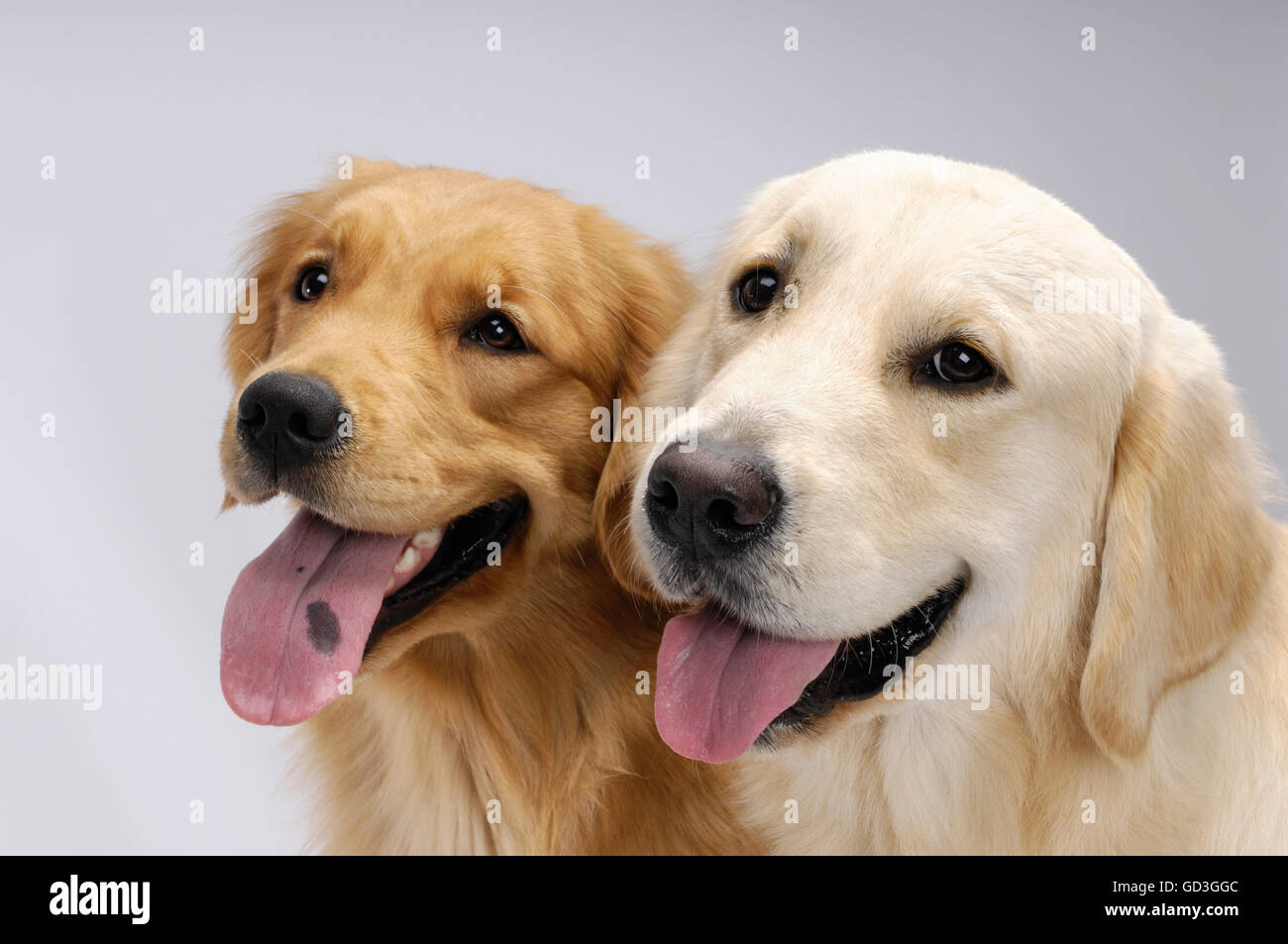 Two one year old Golden Retrievers - Stock Image