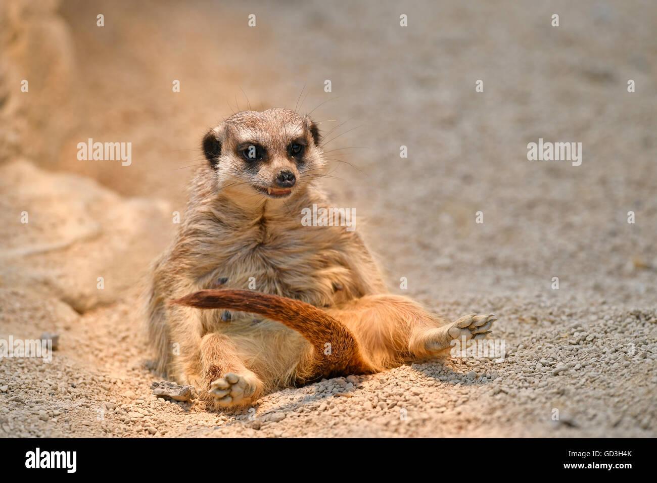 Meerkat (Suricata suricatta), offspring, captive - Stock Image