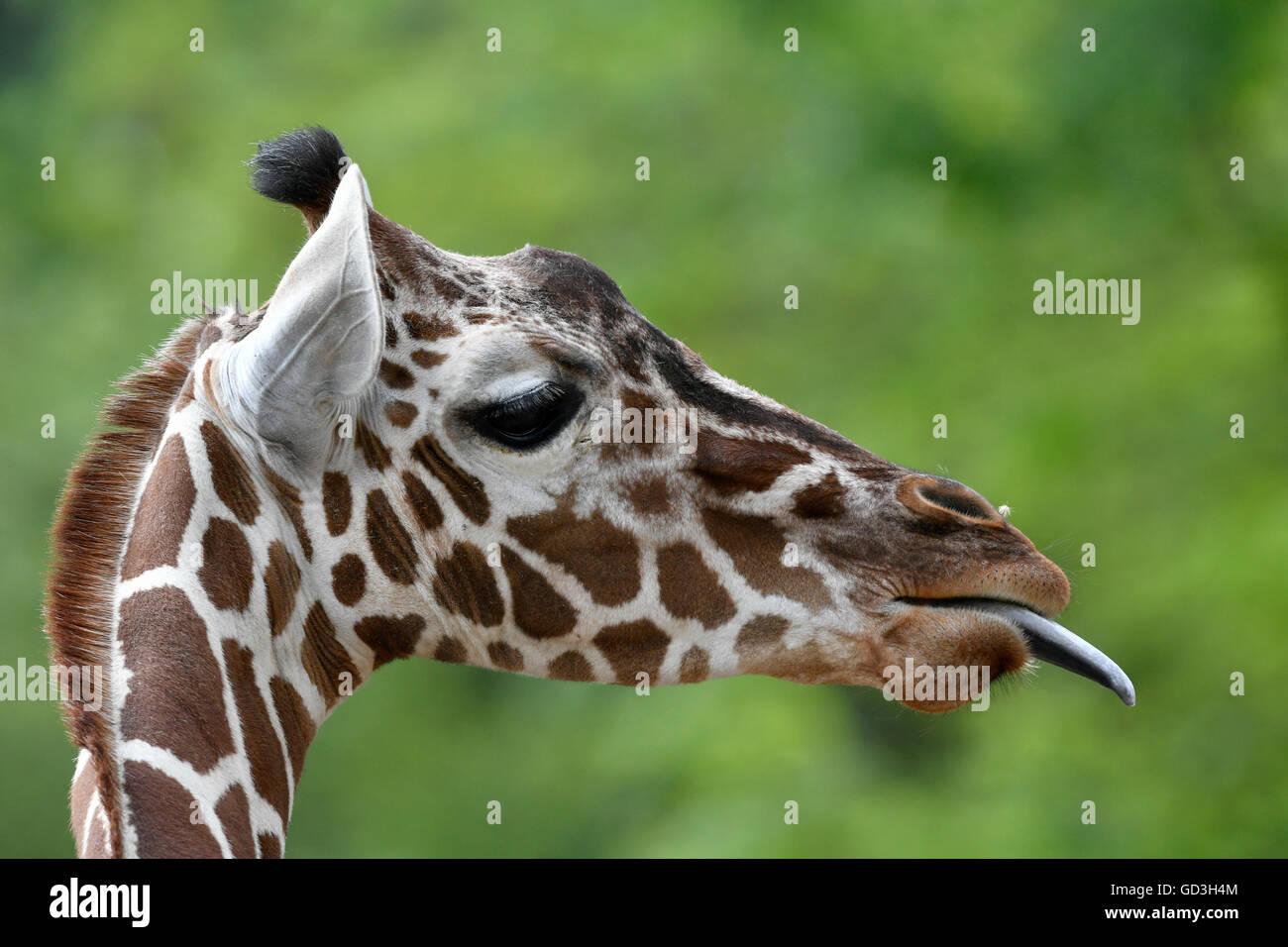 Reticulated Giraffe (Giraffa camelopardalis reticulata), portrait, sticks out tongue, captive Stock Photo