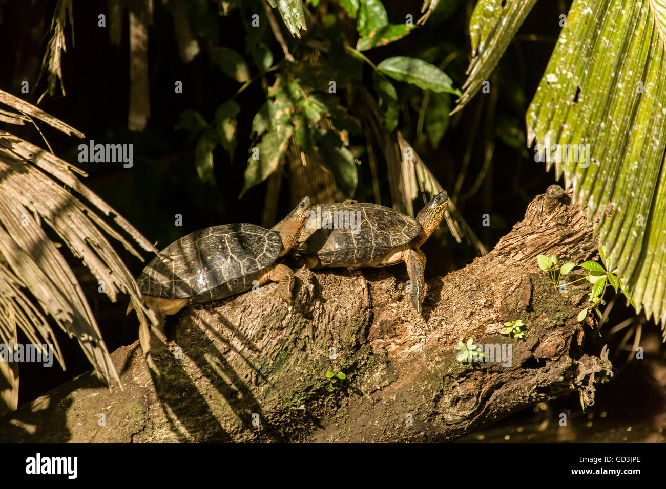 Black River Turtles (Rhinoclemmys funerea) sunning themselves on a log next to the river in Tortuguero National - Stock Image