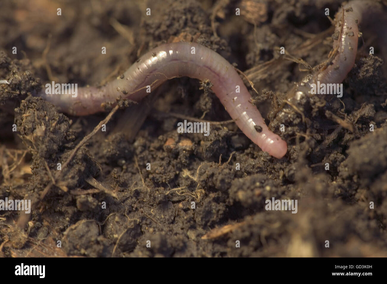 Earthworm crawling on soil in a compost pile. Stock Photo