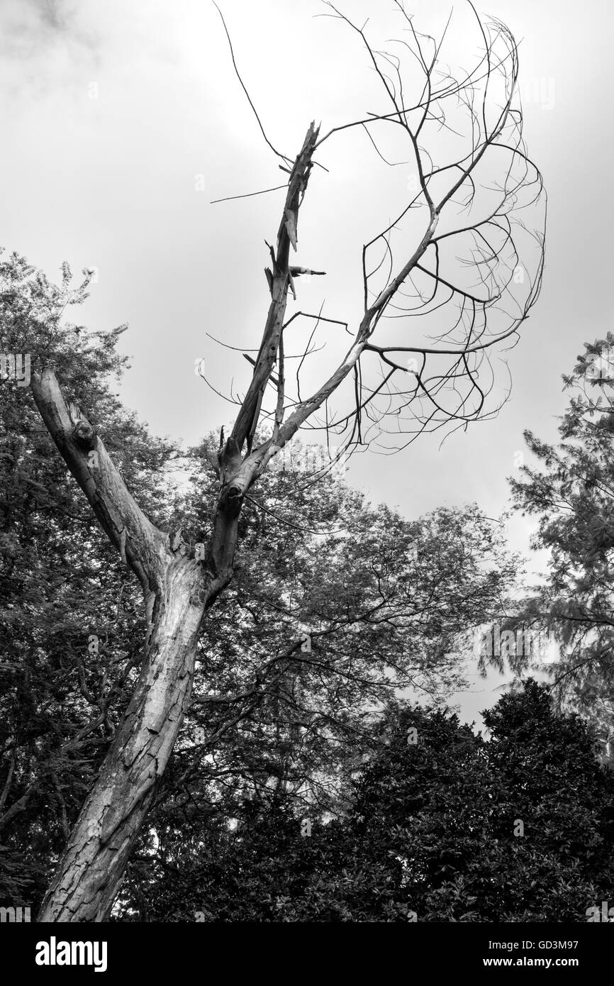 Dead Tree and Living Tree in Black and white. - Stock Image