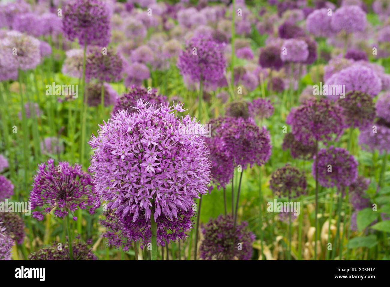 Purple Allium flowers - Stock Image